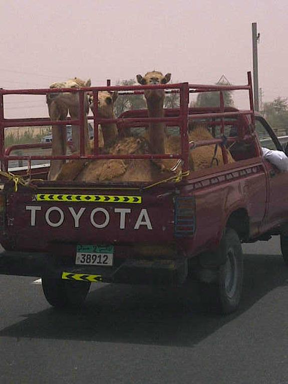 Dubai Camel Toyota